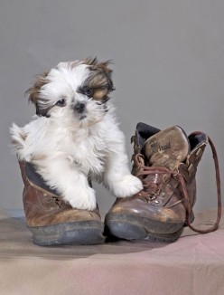 puppy on shoe
