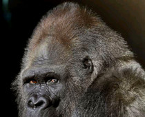 Gorilla Timmy Dies: What to Tell Your Kids