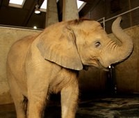 Louisville Zoo baby elephant walks into second birthday