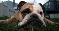 wrinkly dog